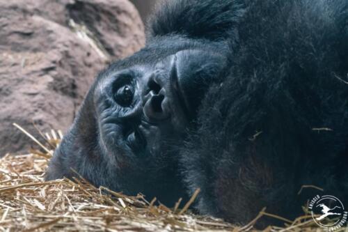 D19. Big papa; gorilla relaxt
