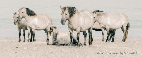 D4. Konikpaarden langs de Waal