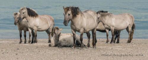 D3. Konikpaarden langs de Waal