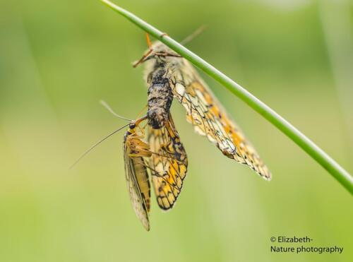 V3. Schorpioenvlieg die parelmoervlinder opeet