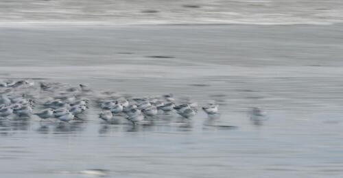 V4. Drieteenstrandlopertjes langs het strand