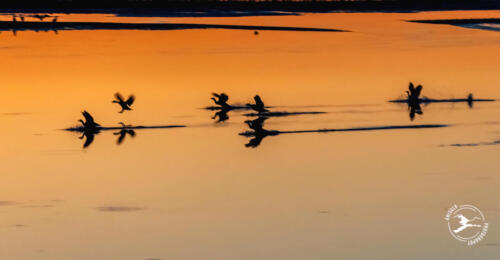 T6. Landende ganzen na zonsondergang in de Slufter