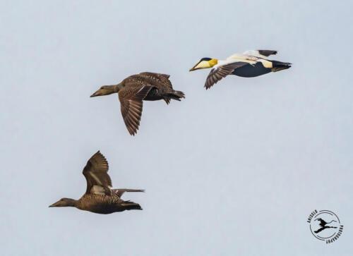 T2. Vliegende eidereenden bij de Horsmeertjes