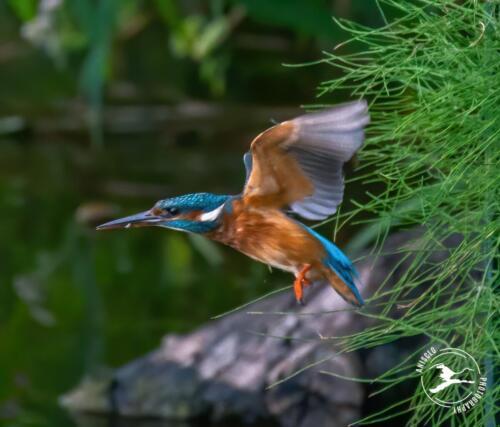 V3. IJsvogel vliegt weg uit nestpijp