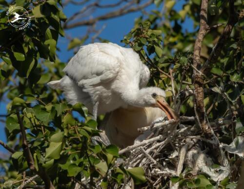 V20 Jonge lepelaar werkt mee aan nest