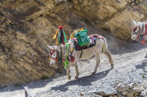 D10. Nepalees paard