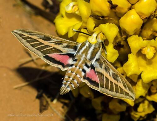 V9. Pijlstaartvlinder