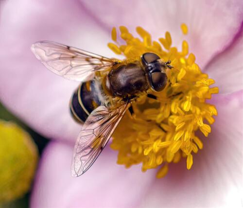Vl1. puntbijvlieg op Japanse anemoon