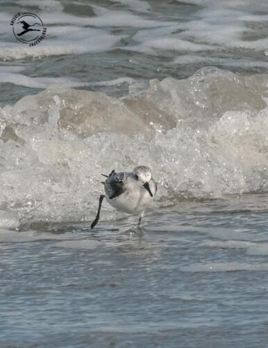 T4 Drieteenstrandloper rent voor de golven uit