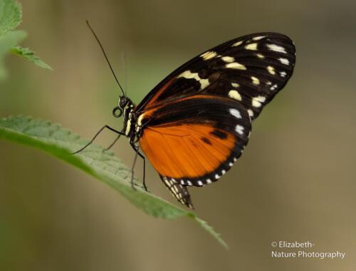 V5. tropische vlinder